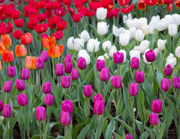 Tulipes contre le cancer